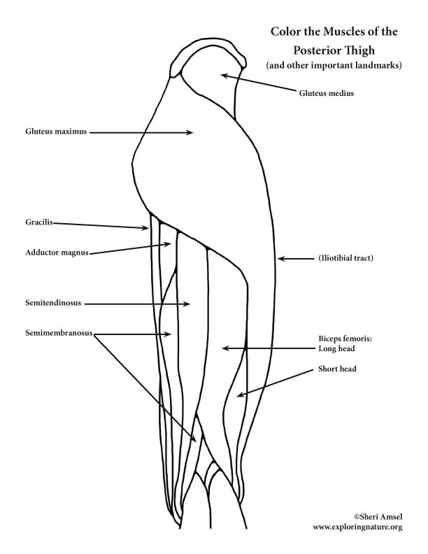 Muscles of the Thigh and Hip (Posterior) Coloring