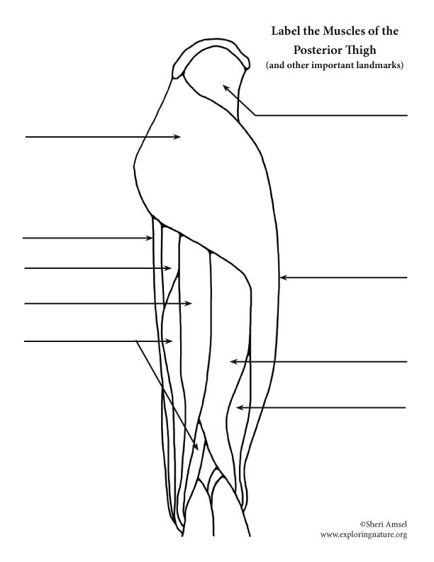 Muscles of the Thigh and Hip (Posterior) Labeling