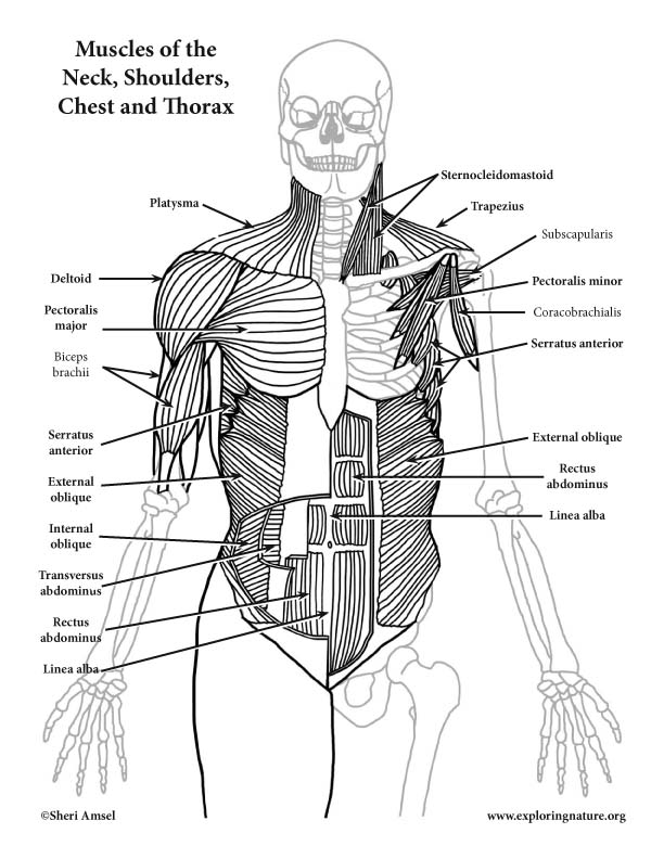 Muscles of the Neck, Shoulders, Chest and Thorax