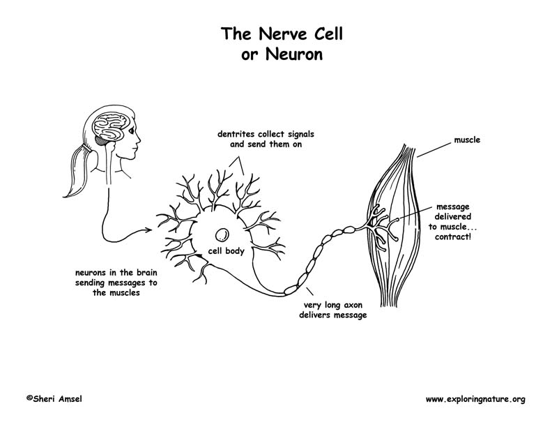 Nerve Cell (Neuron) Coloring Page