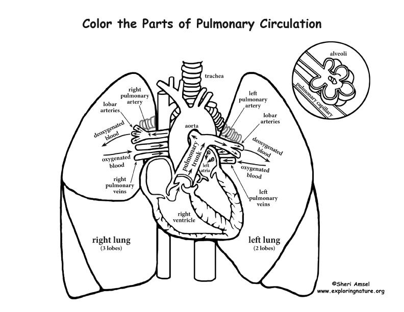 Pulmonary Circulation Coloring Page