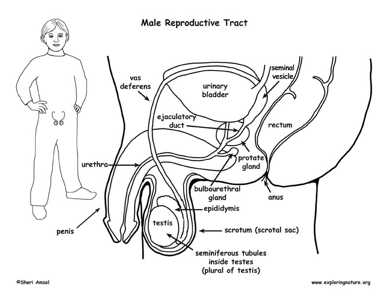 Male Reproductive System Anatomy Diagram / 12 Best Images