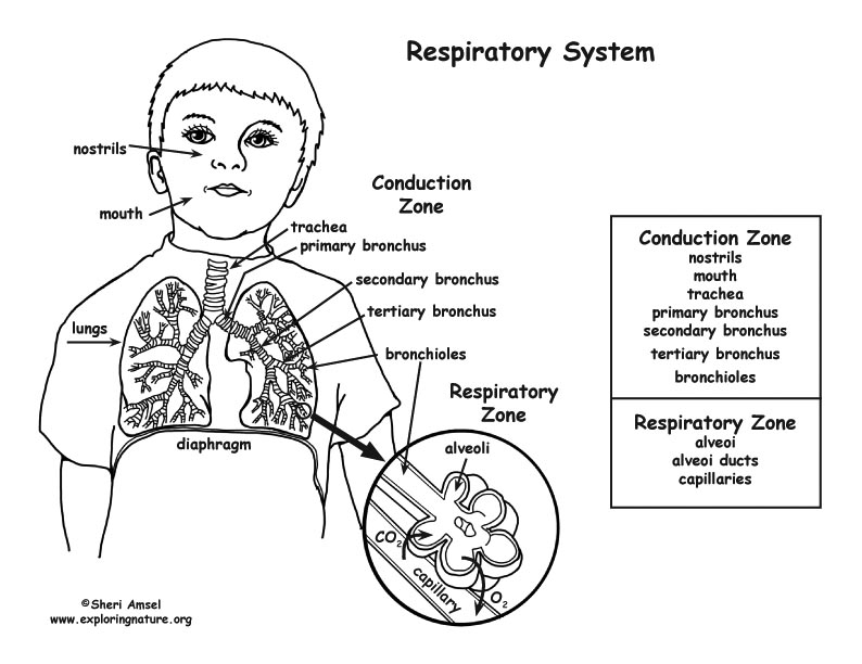 Respiratory System Coloring Page (Middle/High School)