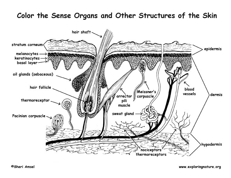 Sense Organs of the Skin Coloring Page