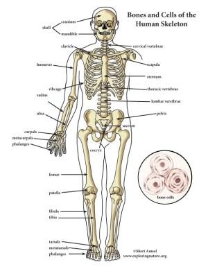 Skeletal System Color Diagram (MiniPoster)