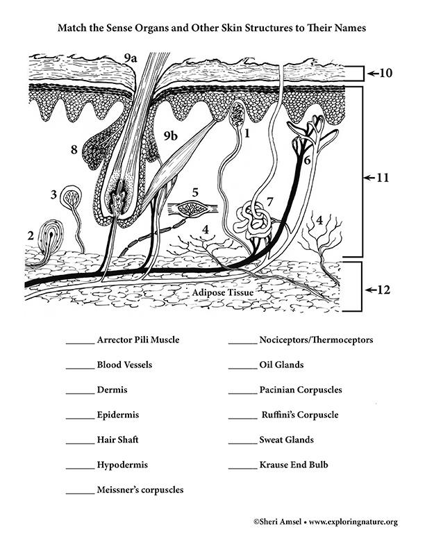 Sense Organs of the Skin
