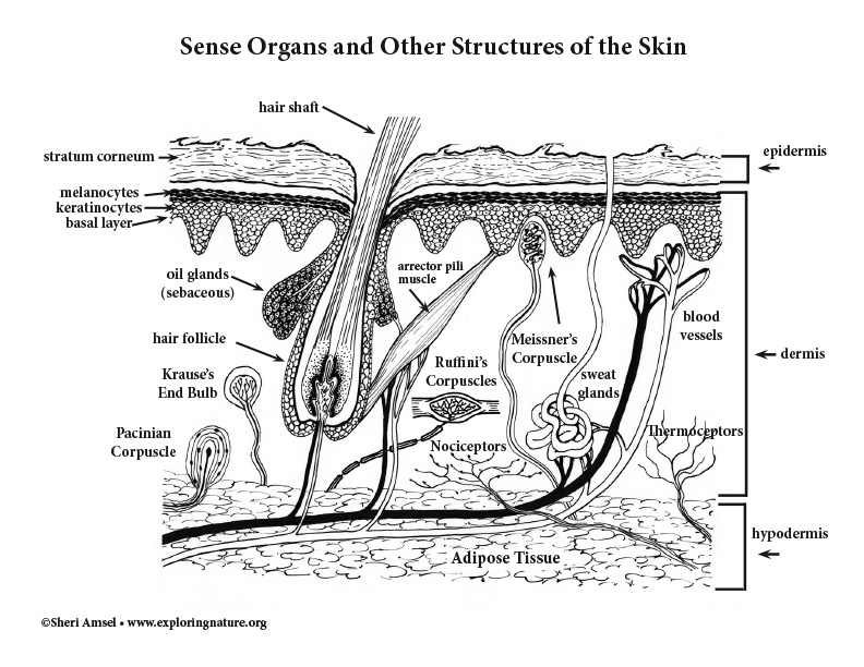 Sense Organs of the Skin (Black and White)
