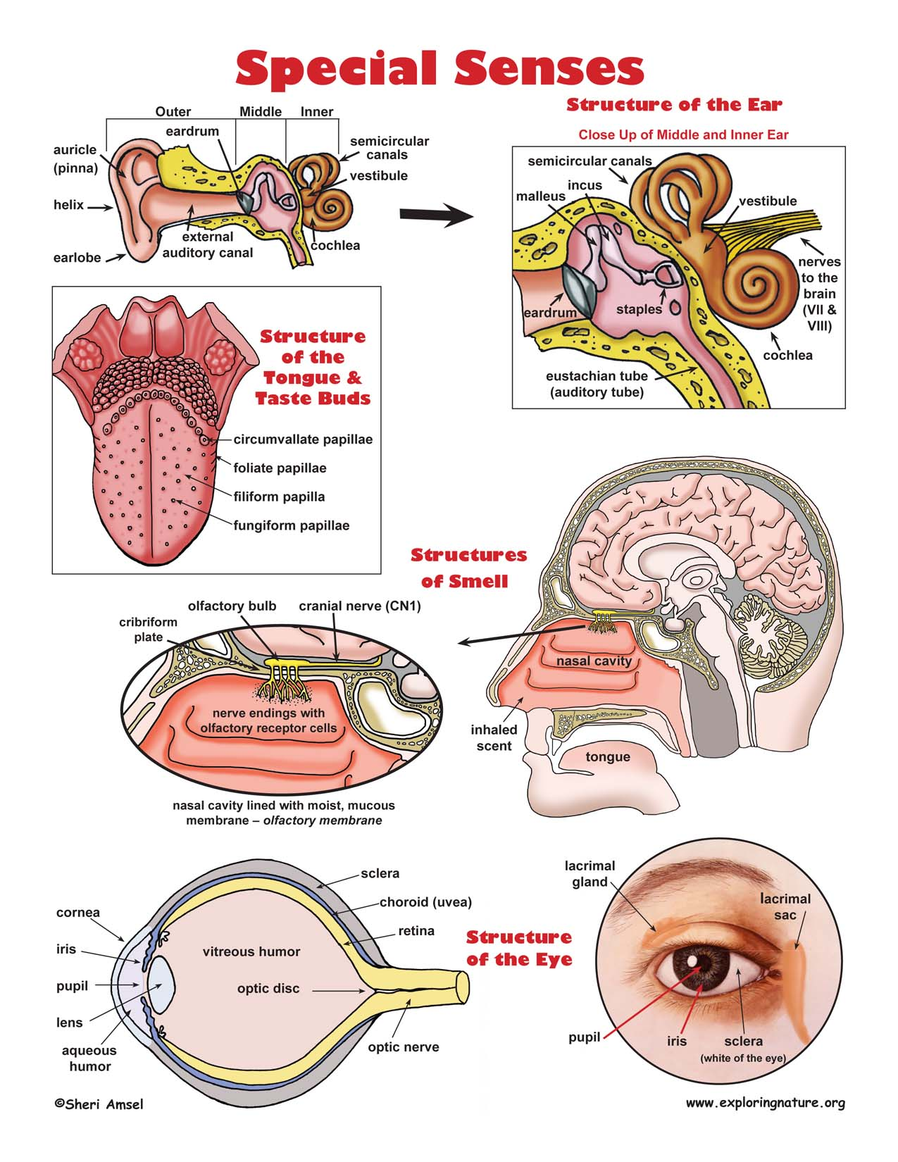 five senses diagram thoracic muscle anatomy special poster