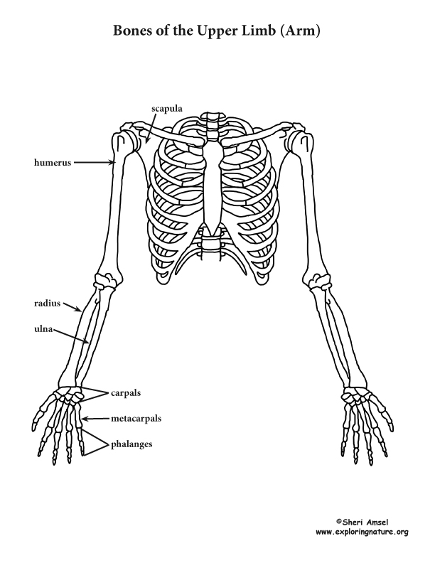 The Upper Limb (Arm)