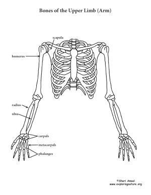 Arm  Upper Limb