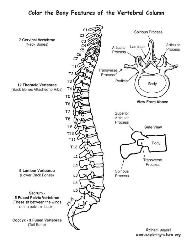 Vertebral Column (Backbone) Coloring Page