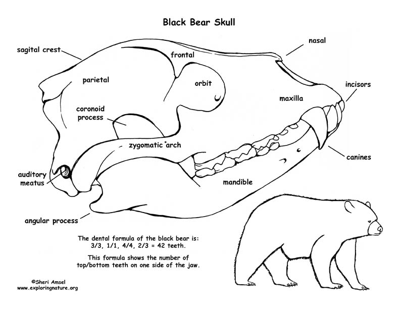 animal skull diagram labeled octopus black bear and labeling
