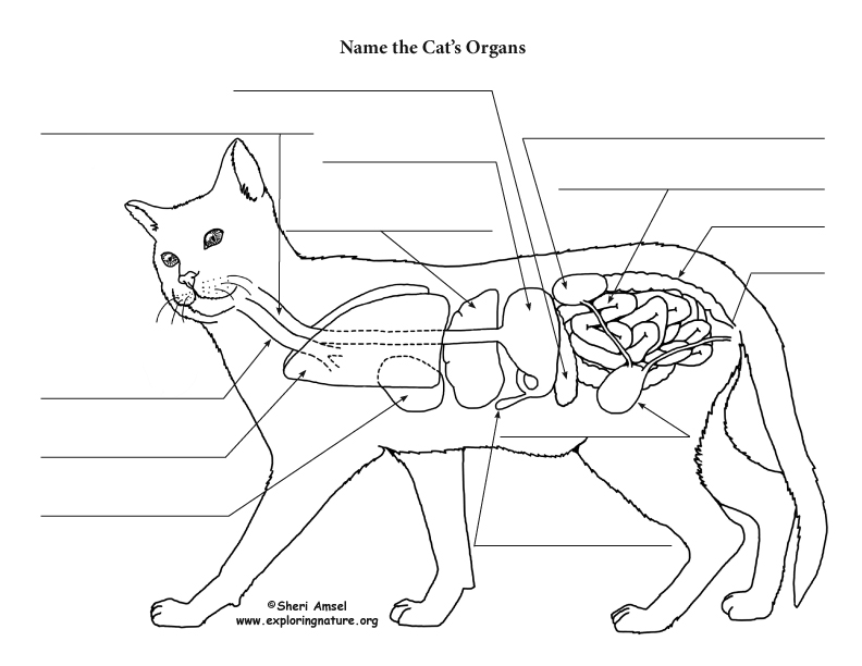 Cat Anatomy (Thoracic and Abdominal Organs)