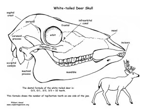 Whitetailed Deer Skull Diagram and Labeling