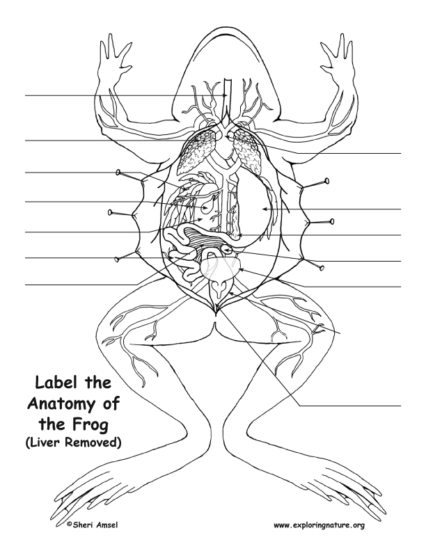 Frog Anatomy (Under the Liver)