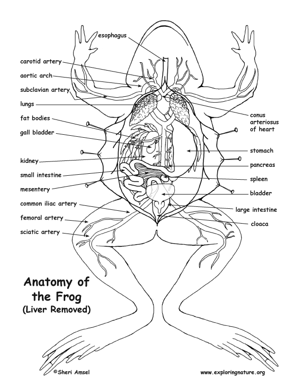 Frog Anatomy (Under the Liver)
