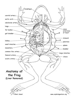 Frog Anatomy (Under the Liver)