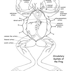 Frog Head Diagram Labeled Profibus Wiring Circulatory System And Labeling