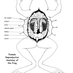 Frog Head Diagram Labeled Massey Ferguson 135 Gearbox Reproductive Anatomy And Labeling