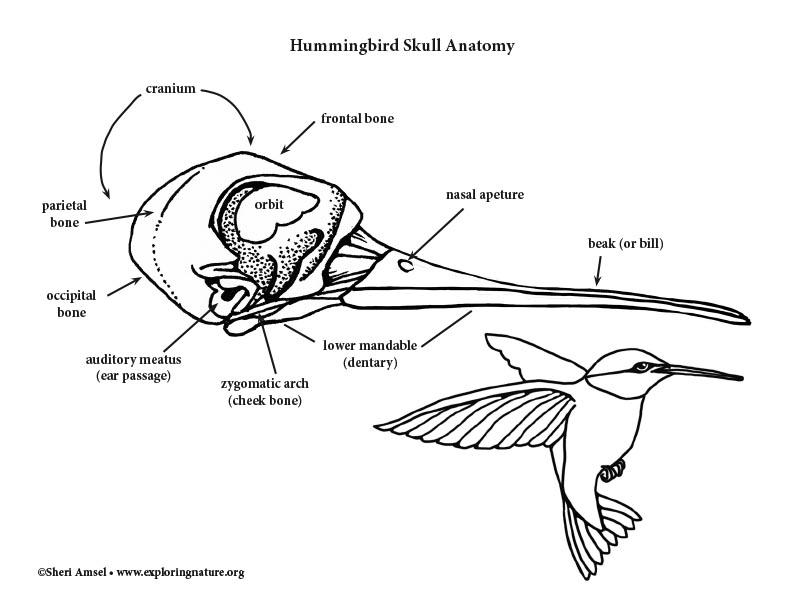 Hummingbird Skull Diagram and Labeling
