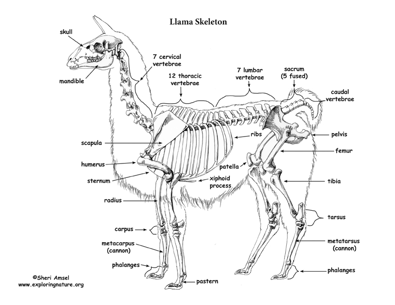 ostrich skeleton diagram car relay wiring llama and electrical schematic skeletal anatomy rh exploringnature org horse