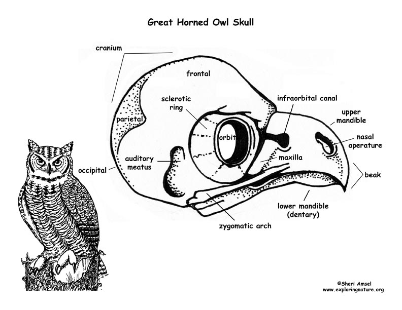Owl (Great Horned) Skull Diagram and Labeling