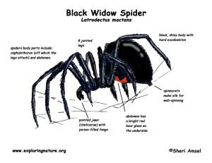 Spider (Black Widow)