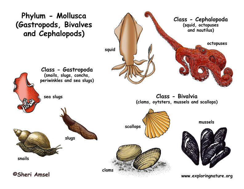 clam diagram labeled switch light wiring phylum - mollusca (gastropods, bivalves, cephalopods)