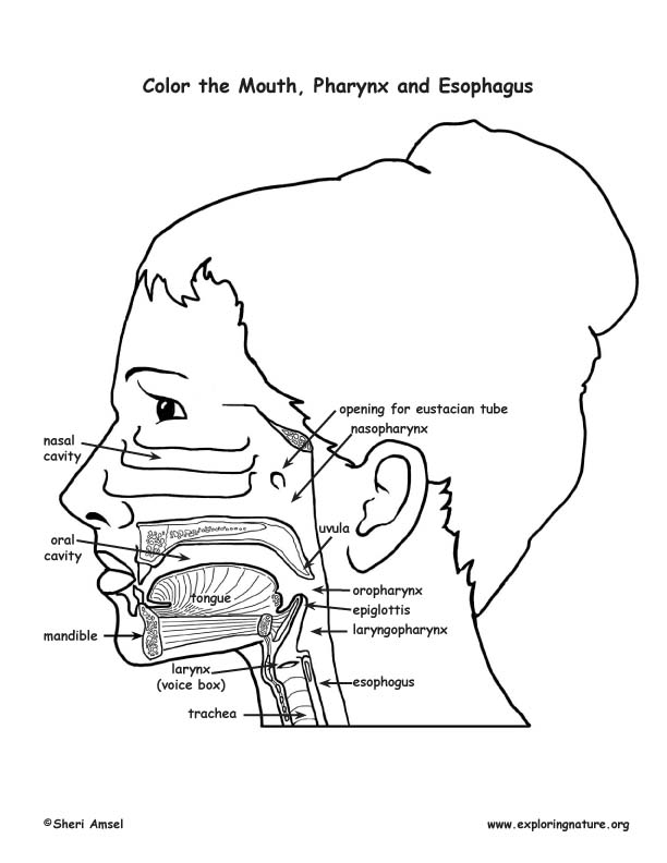 Mouth, Pharynx and Esophagus