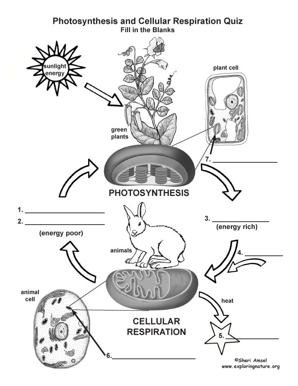 Photosynthesis & Cellular Respiration