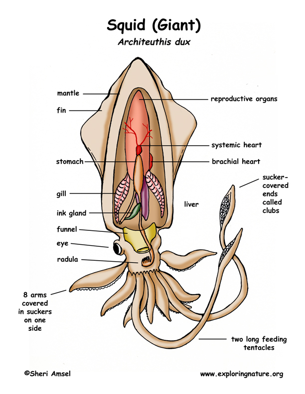 mollusca diagram labeled 2012 ford focus radio wiring phylum gastropods bivalves cephalopods