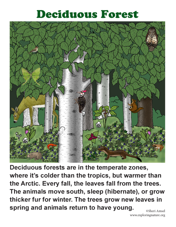 deciduous forest diagram basic car alternator wiring posters