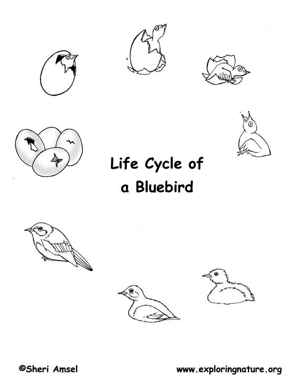 Bird Life Cycle (Eastern Bluebird)