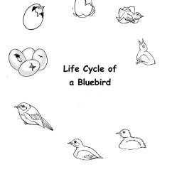 Bird Life Cycle Diagram Goodman Heat Pump Capacitor Wiring Eastern Bluebird