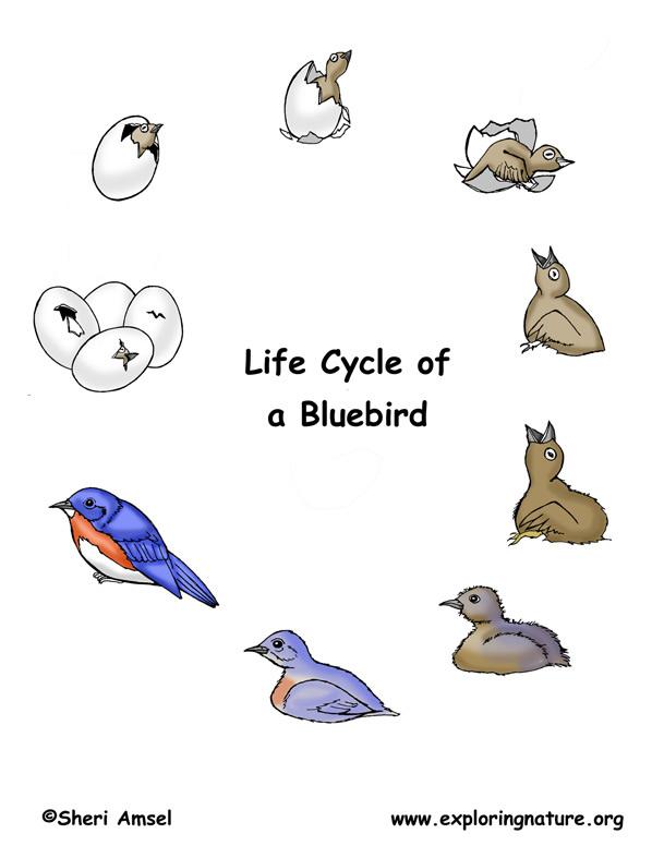 bird life cycle diagram rover 75 airbag wiring eastern bluebird