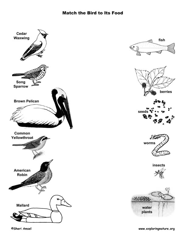 Match the Birds' Beak to Their Food