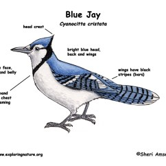 Bird Life Cycle Diagram Triumph Tr6 Pi Wiring Of Blue Jay Free For You Rh Exploringnature Org Butterfly