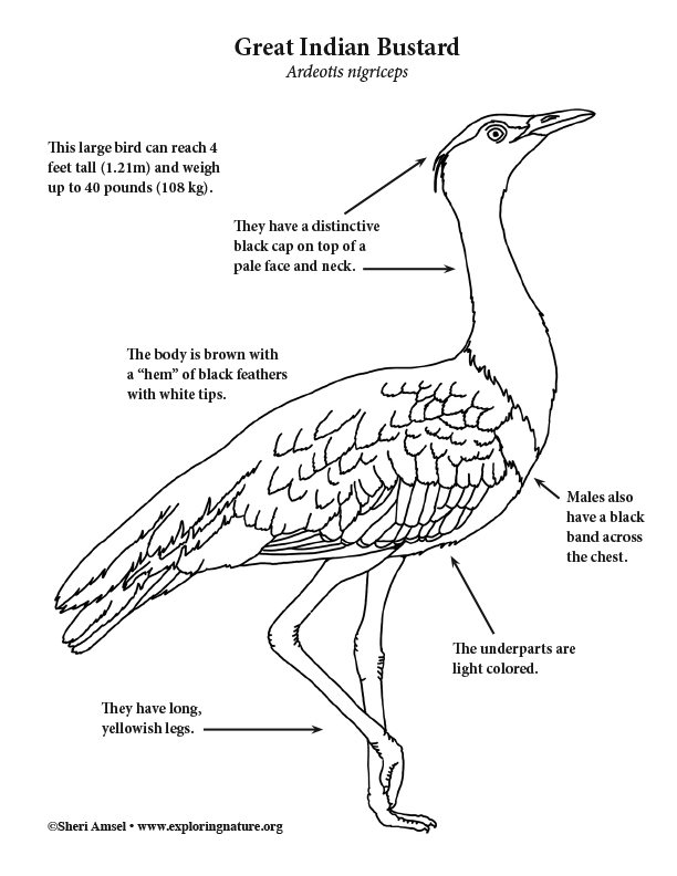 Bustard (Great Indian) Coloring Page