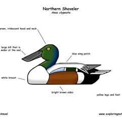 Duck Wing Diagram Wiring Relay 5 Pin Northern Shoveler