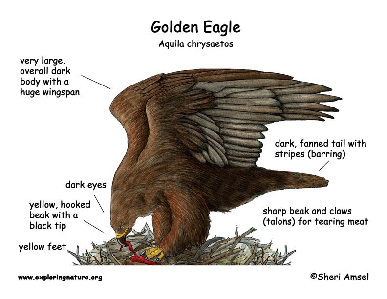 rain bird wiring diagram vw golf 5 eagle body diagram, eagle, get free image about