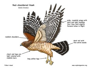 Hawk (Redshouldered)