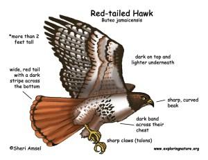 Hawk (Redtailed)