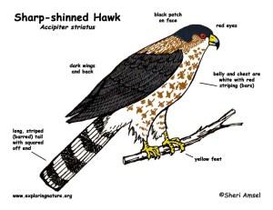 Hawk (Sharpshinned)