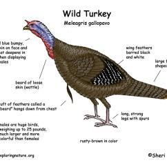 Bird Life Cycle Diagram Jeep Wrangler Tj Sound Bar Wiring Turkey (wild)