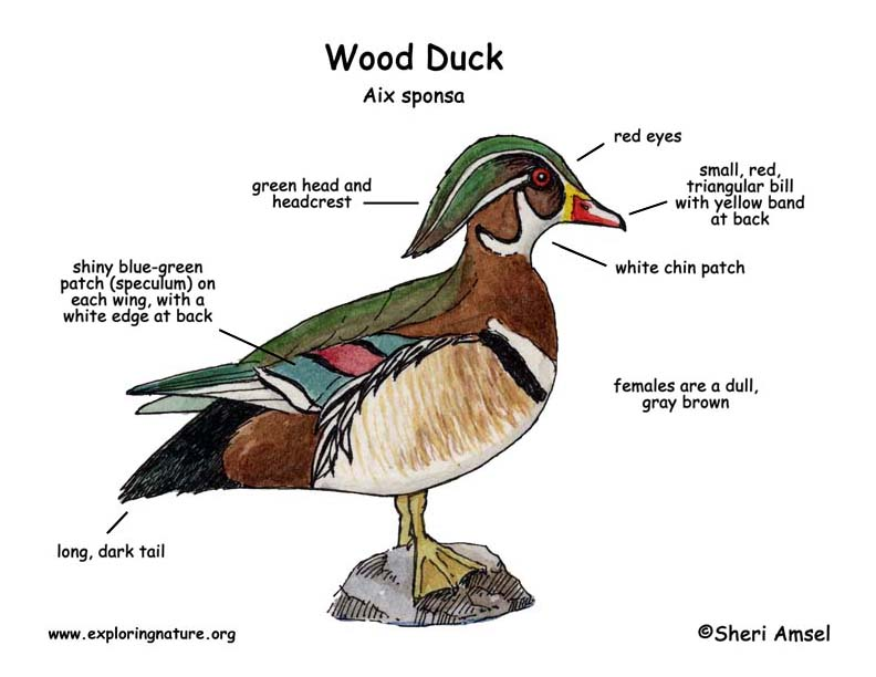 duck wing diagram advanced origami wood