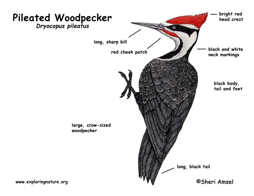 Woodpecker (Pileated)