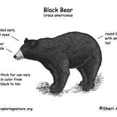 Bear Skull Diagram Best Tool To Draw Uml Diagrams Polar Body Parts