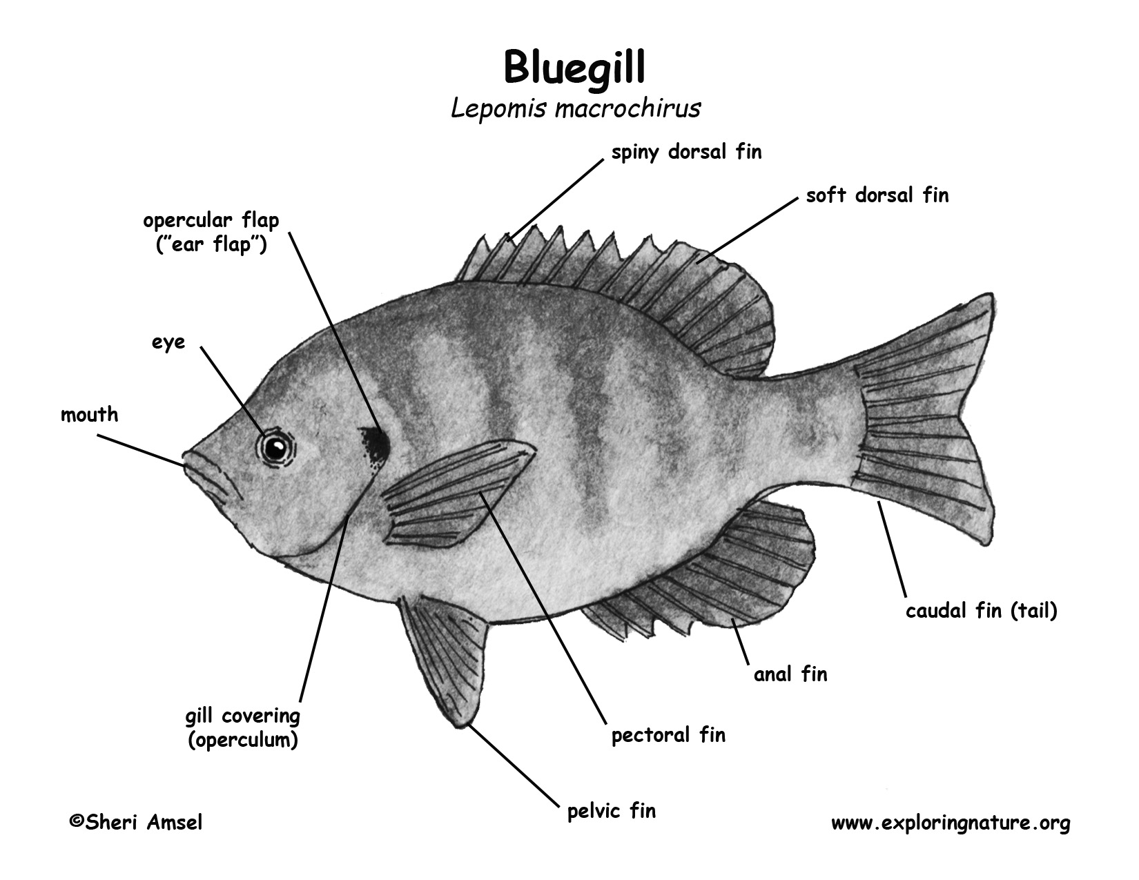 labelled diagram of a tilapia fish 1uz wiring anatomy coloring page chordata