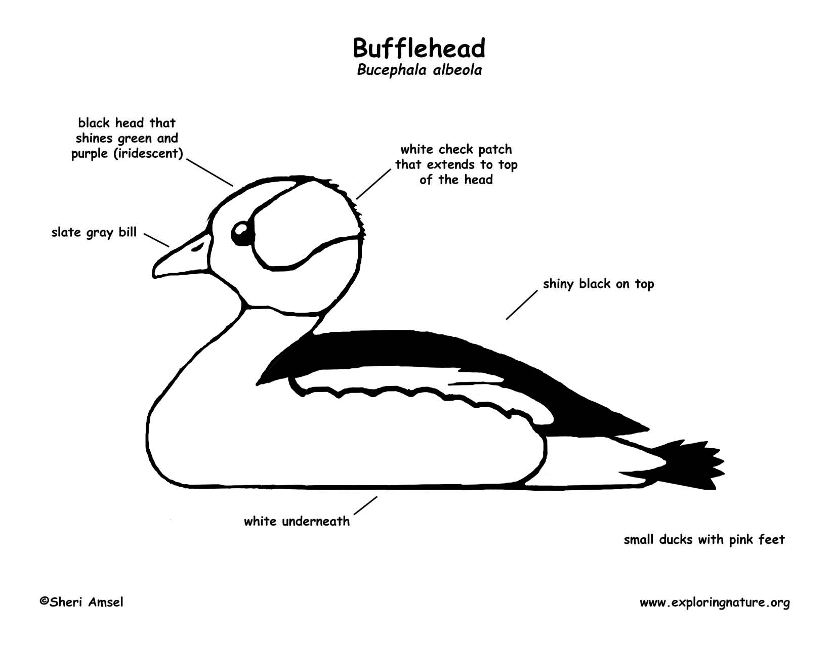 Duck (Bufflehead)