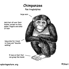 Chimpanzee Skull Diagram 2005 Ford F150 Headlight Switch Wiring Body Parts Of All Bing Images